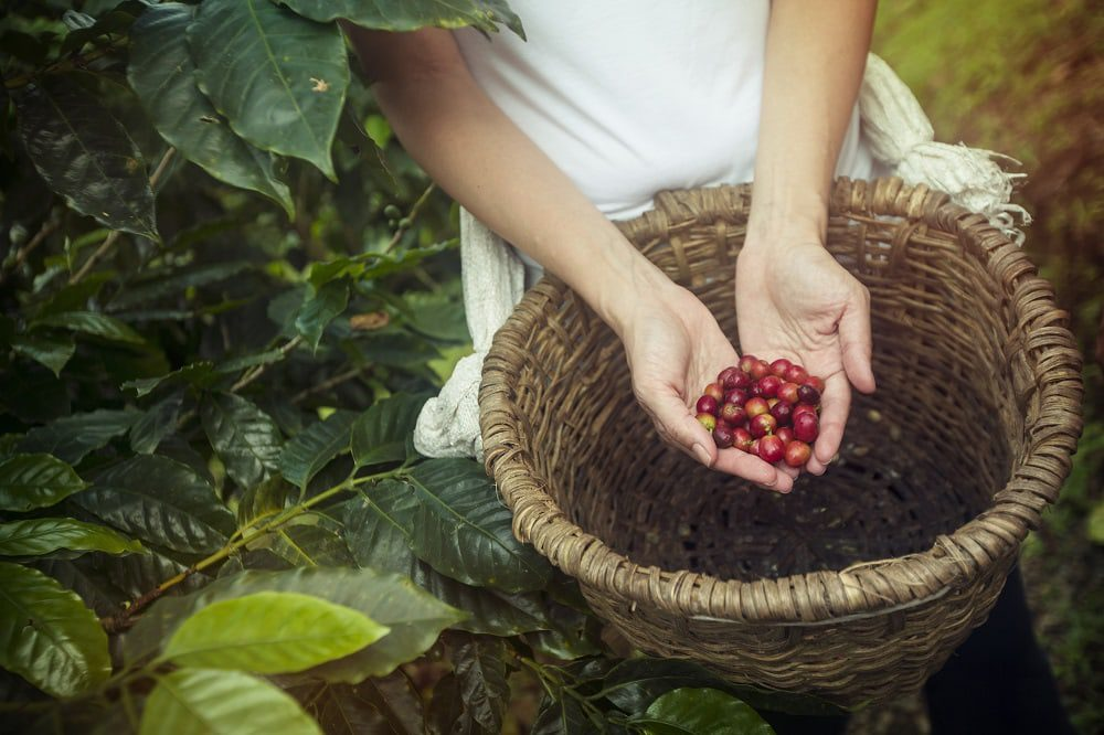 Costa Rica La Fortuna Planeterra Coffee Cooperative Plant Coffee Beans Basket Hands-Shereen Mroueh 2014-IM10890 processed Lg RGB