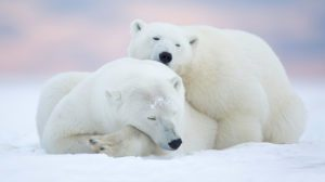 POLAR BEAR DAY: Best places to see the vulnerable creature in a safe environment