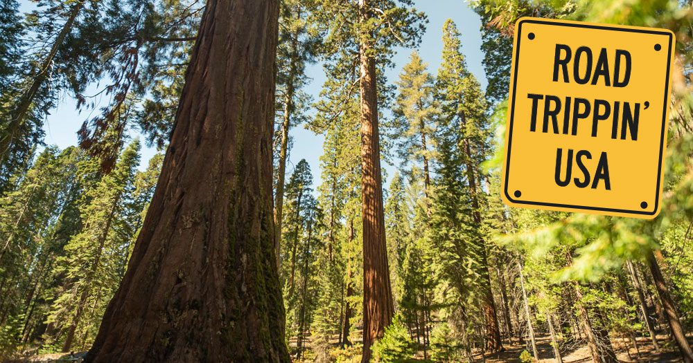 Giant Trees and Ancient Forests: ROAD TRIPPIN' USA